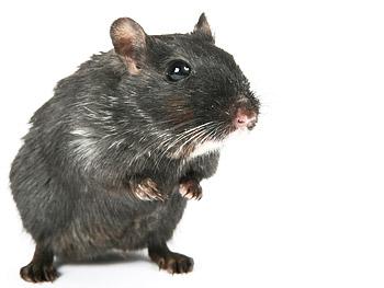 Como eliminar ratas del entretecho